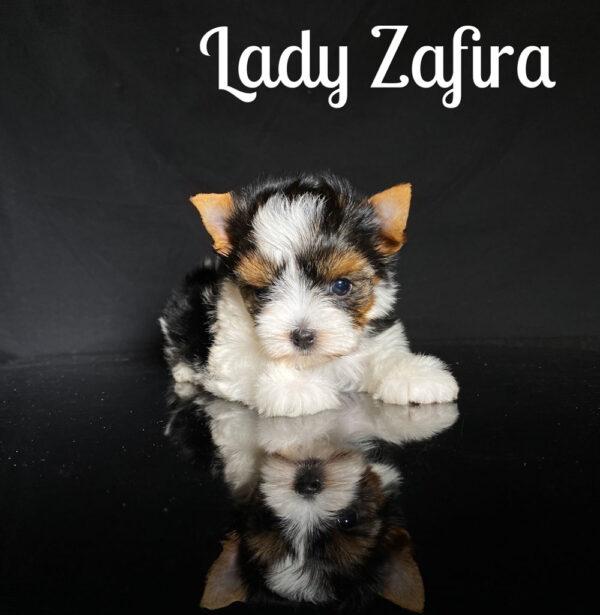 Biewer Puppy Zafira