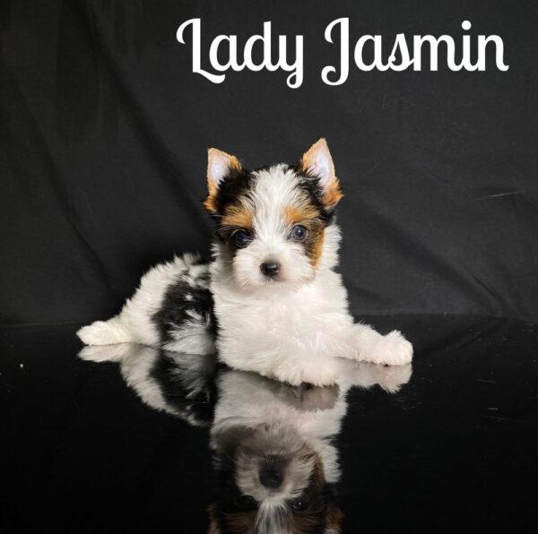 Biewer Terrier Puppy Jasmin