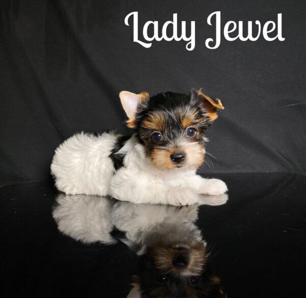 Biewer Terrier Puppy Jewel