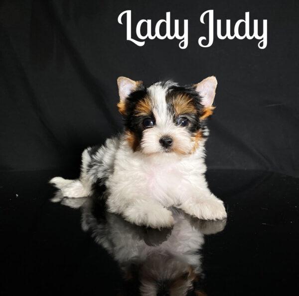 Biewer Terrier Puppy Judy