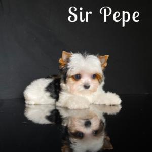 Mini Biewer Pepe