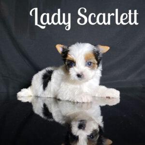 Biewer Puppy Scarlett