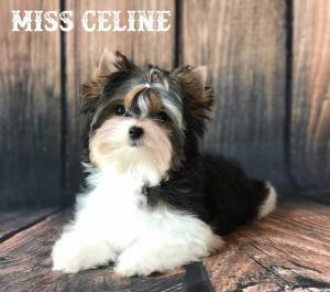 Miss Celine Mini Biewer Terrier Girl