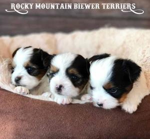 2017 H-Litter Rocky Mountain Biewer Terriers