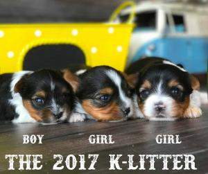 2017 K-Litter Rocky Mountain Biewer Terriers