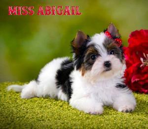 Rocky Mountain Biewer Terriers Miss Abigail