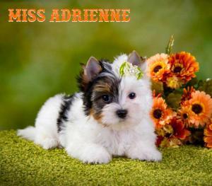 Rocky Mountain Biewer Terriers Miss Adrienne