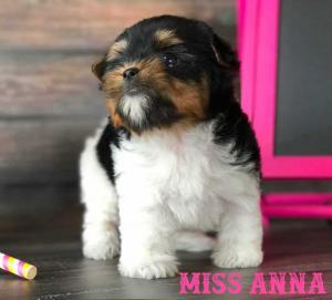 Rocky Mountain Biewer Puppy Miss Anna
