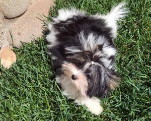 Biewer Puppy Sir Armani