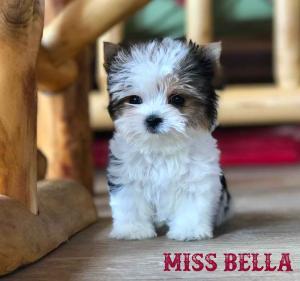 Available Biewer Puppy Miss Bella