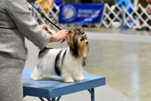 Rocky Mountain Biewer Terriers Dog Show