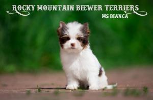 Ms Bianca, Mini Chocolate Biewer Girl