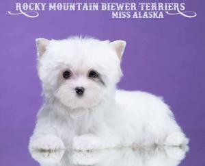 Miss Alaska Rare White Biewer Terrier Puppy Girl