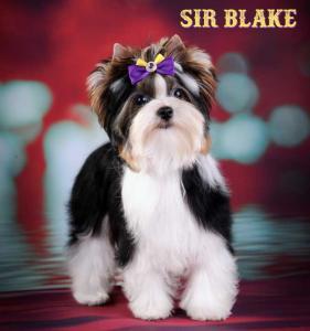 Biewer Terrier Boy Sir Blake