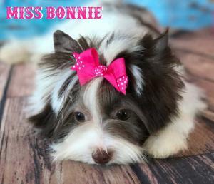 Miss Bonnie Chocolate Biewer Yorkie Girl