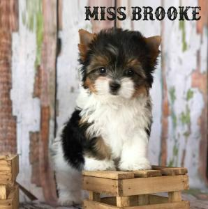 Miss Brooke Biewer Terrier Girl