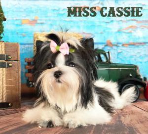 MIni Biewer Terrier Girl Miss Cassie