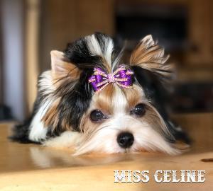 Biewer Terrier Puppy Girl Miss Celine