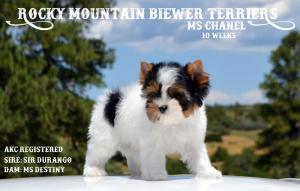 Biewer Terrier Puppy Ms Chanel 10 weeks