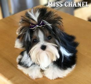 Extreme Mini Biewer Terrier Girl Miss Chanel