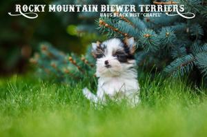 Sir Chaplin Available Biewer Terrier Puppy