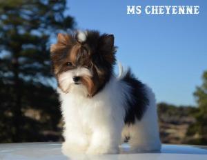 Ms Cheyenne Mini Biewer Girl