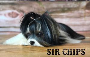 Biewer Puppy Sir Chips