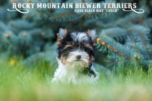 Available Biewer Puppy Sir Chuck