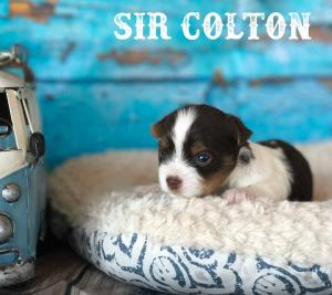 Sir Colton AKC Chocolate Biewer Terrier