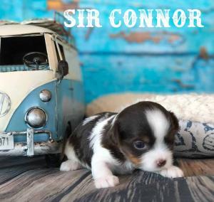 Sir Connor AKC Chocolate Biewer Terrier