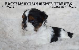 Cutest Biewer Terrier Puppy