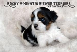 Rocky Mountain Biewer Terrier Puppy Ms Daytona