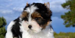 Rocky Mountains Ms Daytona Biewer Terrier Girl