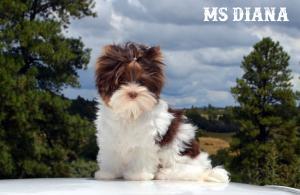 Ms Diana Chocolate Biewer Terrier Girl