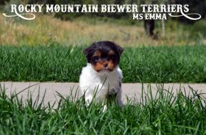 Rocky Mountain's Ms Emma - Chocolate Biewer Terrier