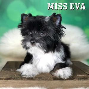 Rocky Mountain Biewer Terrier Puppy Girl Miss Eva