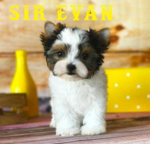 Available Biewer Puppy Sir Evan