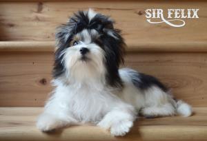 Sir Felix Biewer Terrier Boy