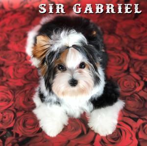 Sir Gabriel Biewer Terrier Puppy