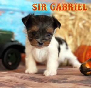 Rocky Mountain's Sir Gabriel Biewer Terrier
