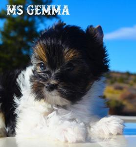 Ms Gemma AKC Biewer Terrier Girl