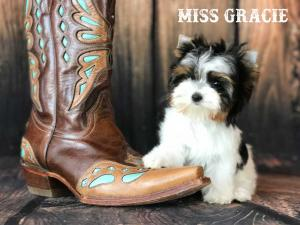 Miss Gracie AKC Mini Biewer Terrier Girl