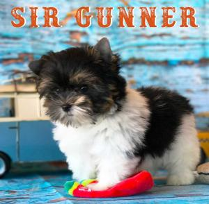 Available Biewer Puppy Sir Gunner