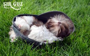Sir Guz Mini Chocolate Puppy Boy