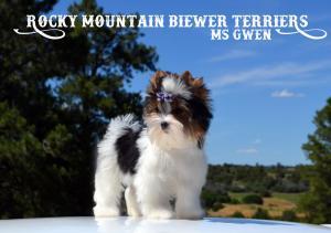 Ms Gwen Standard Biewer Terrier Puppy Girl