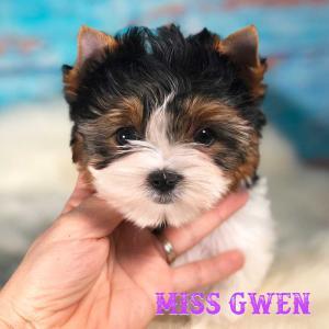 Miss Gwen Biewer Terrier Girl