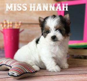 Available Rocky Mountain Biewer Puppy Miss Hanna