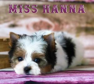 Available Biewer Terrier Girl Miss Hannah