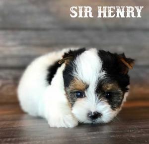 Rocky Mountain's Sir Henry Biewer Terrier Boy