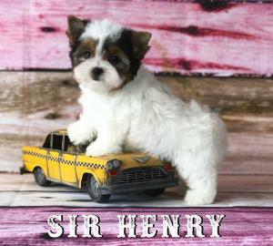 Available Biewer Terrier Puppy Sir Henry